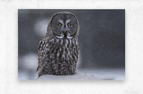 Great Grey Owl - Hunting at Sunset  Metal print