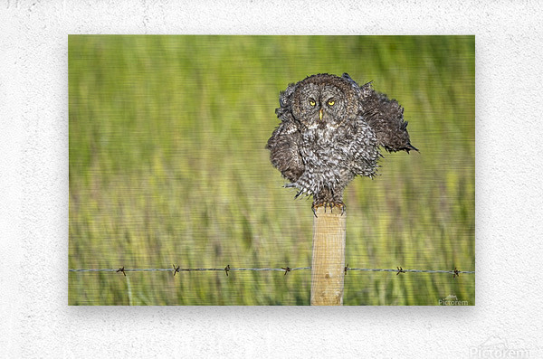 Great Grey Owl - Shaking It Out  Metal print