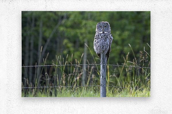 Great Grey Owl - Henry  Metal print