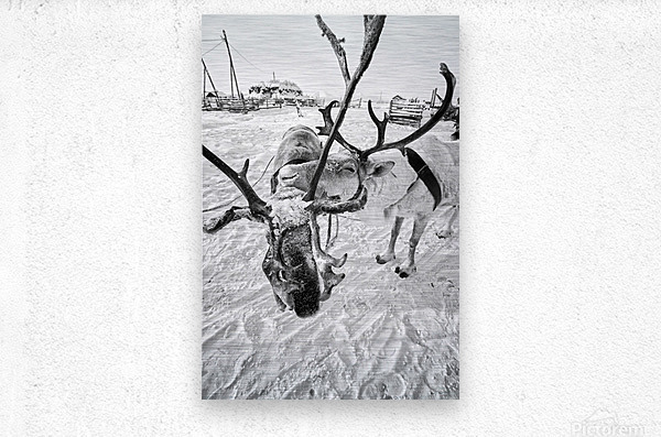 Evenki Reindeer Herding  Metal print
