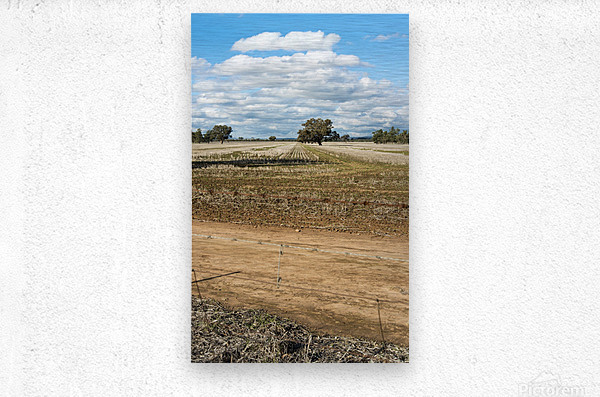 Stubble fields post harvest against blue sky and clouds.  Metal print