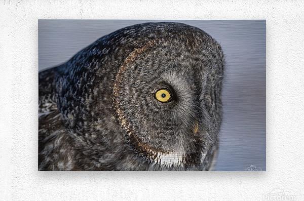 Great Grey Owl up Close  Metal print