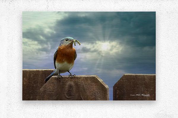 Bluebird in Sun  Metal print
