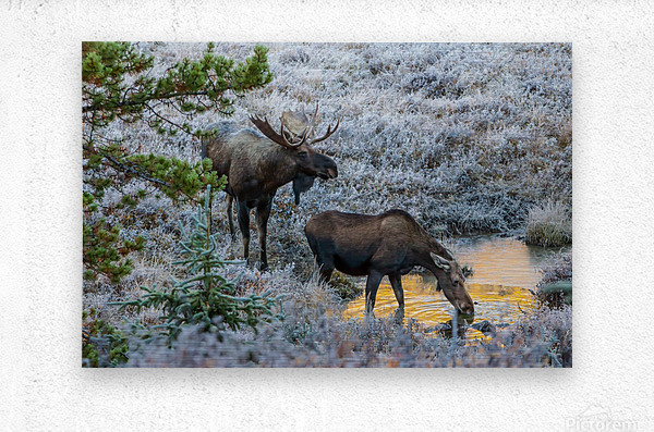Moose On Golden Pond  Metal print