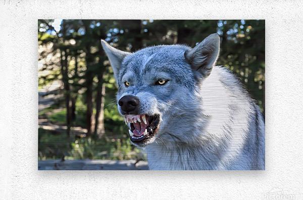 Wolf Dog Snarling  Metal print