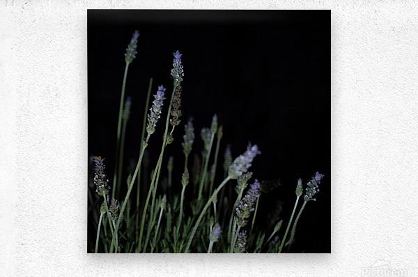 plant flower lavender black background  Metal print