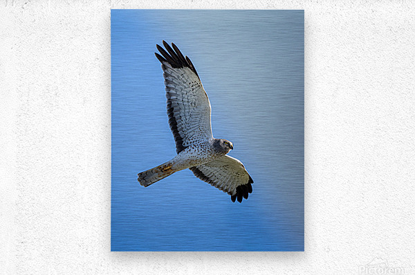 Northern Harrier in Flight  Impression metal