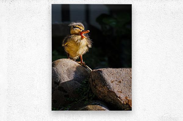 Quacking Duckling  Metal print