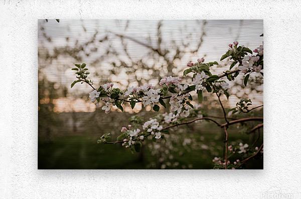 Fleurs de pommes  Impression metal