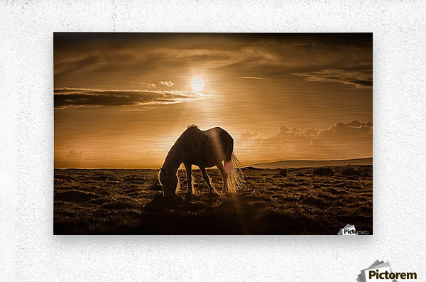 Gower pony at sunset on Cefn Bryn Gower  Metal print