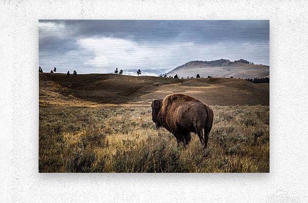 Stormy Bison  Metal print
