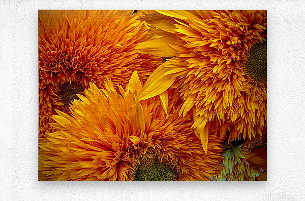 Fluffy Yellow Sunflowers  Metal print