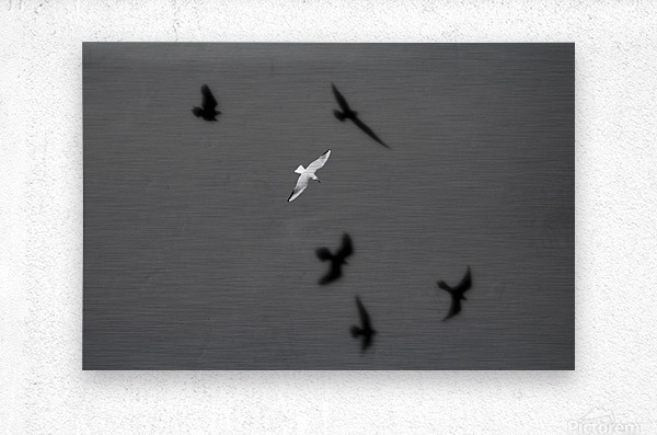 Bird and Shadows  Metal print