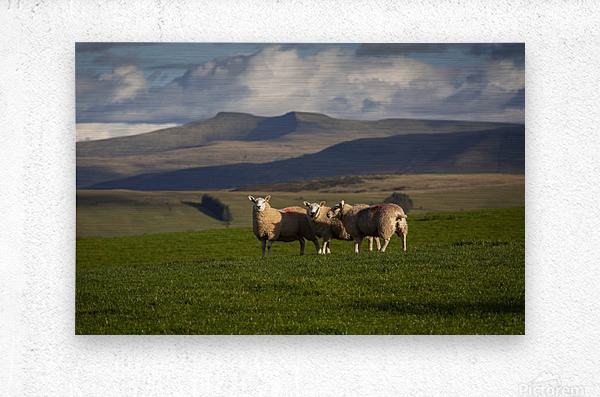 Sheep on the Brecon Beacons  Metal print
