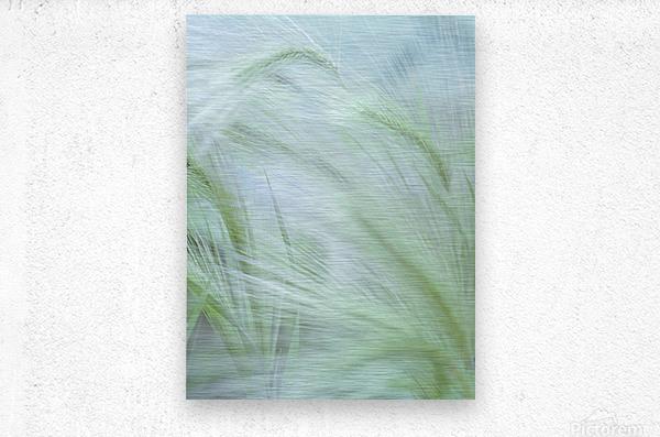 Wild grass Foxtail Barley  Metal print