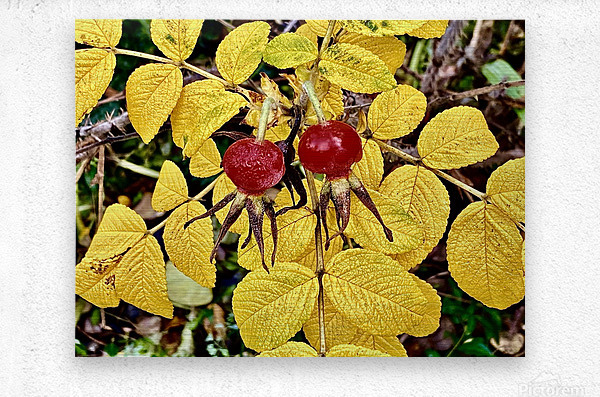 Two Red Berries  Metal print