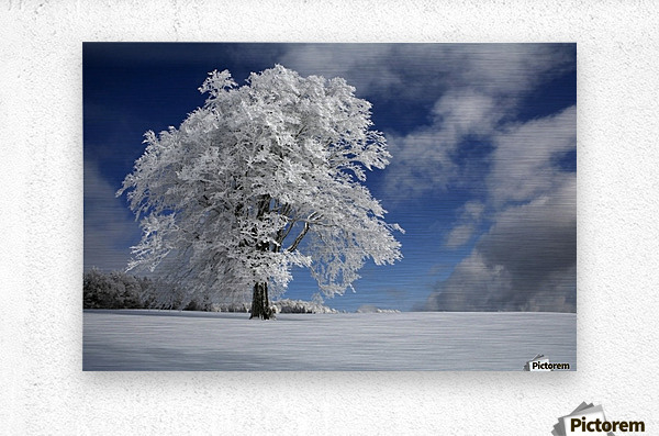 White Windbuche in Black Forest  Metal print
