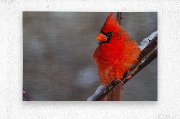 Cardinal ap 1866  Metal print