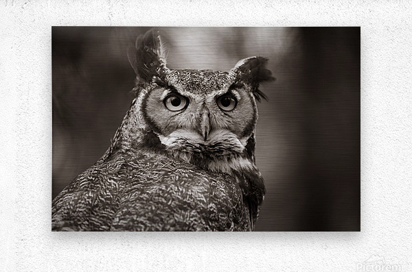 Great Horned Owl ap 2860 B&W  Metal print