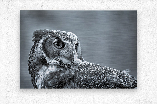 Great Horned Owl ap 2861 B&W  Metal print