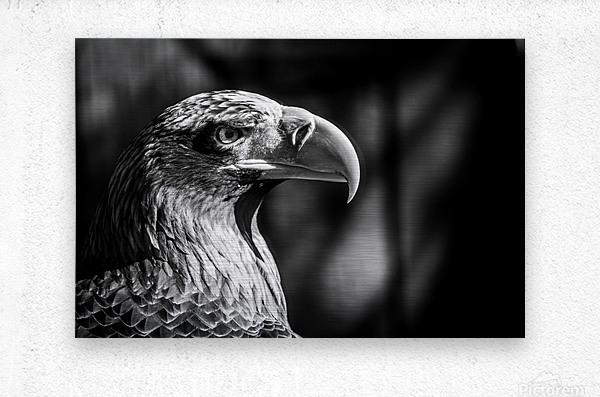 Eagle ap 2046 B&W  Metal print