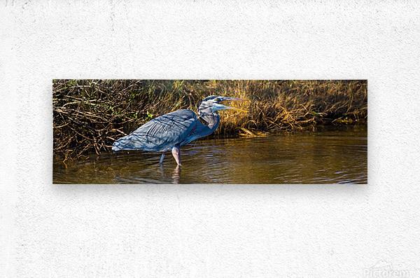 Great Blue Heron ap 2133  Metal print