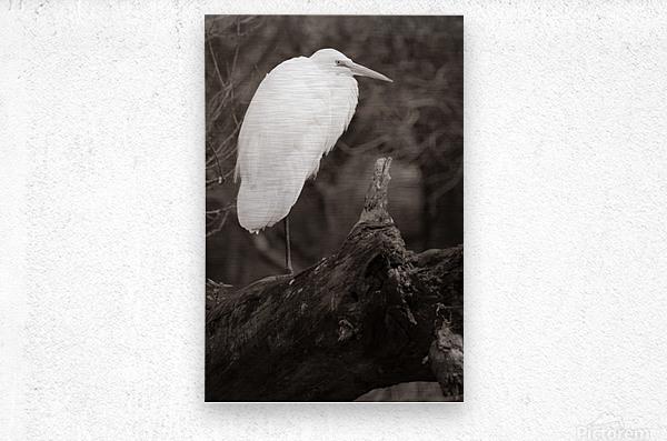 Great White Egret ap 1848 B&W  Impression metal
