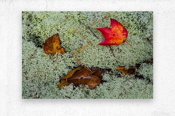 Leaves  N  Lichen ap 1553  Metal print