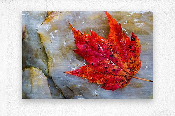 Leaf ap 1953  Metal print