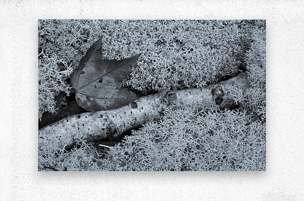 Maple Leaf ap 1554 B&W  Metal print