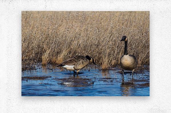 Canada Geese ap 2779  Metal print
