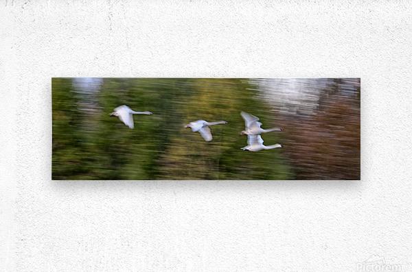 Swan Song ap 2696  Metal print