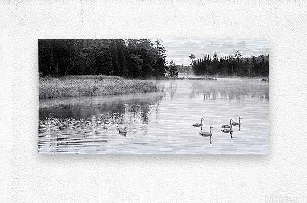 Swan Family ap 2694 B&W  Metal print