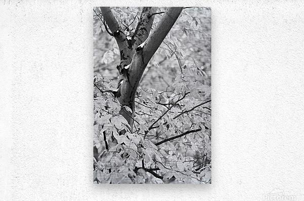 Beech Tree ap 1586 B&W  Metal print