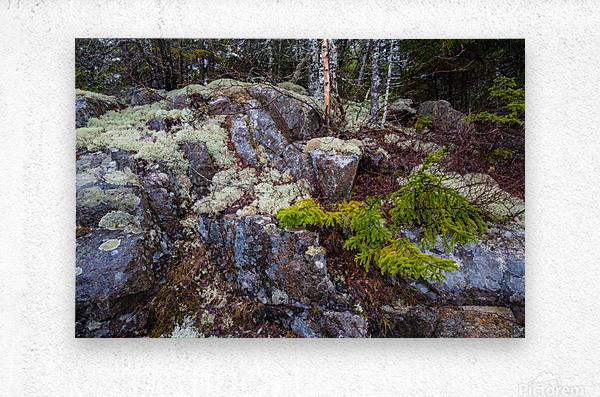 Moss   Lichen ap 2294  Metal print