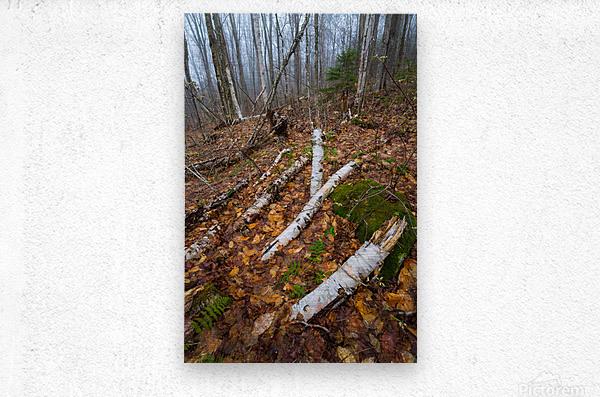 White Birch ap 2186  Metal print