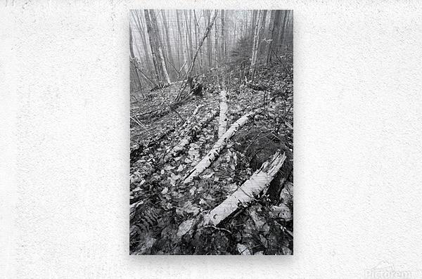 White Birch ap 2186 B&W  Metal print
