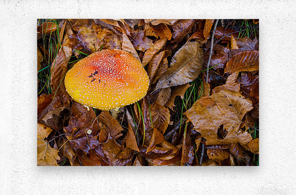 Mushroom ap 1579  Metal print