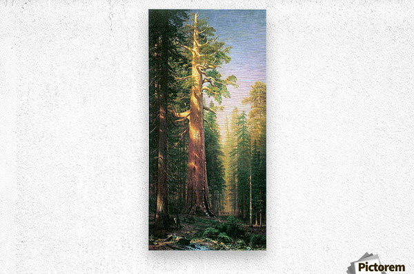 The big trees, Mariposa Grove, California by Bierstadt  Metal print