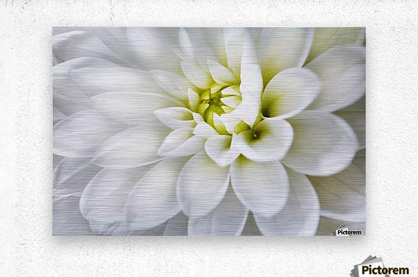 White Dahlia  Metal print