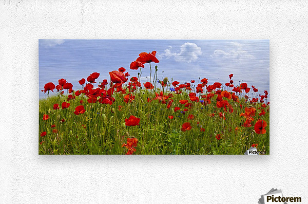 Field of Red Poppies  Metal print