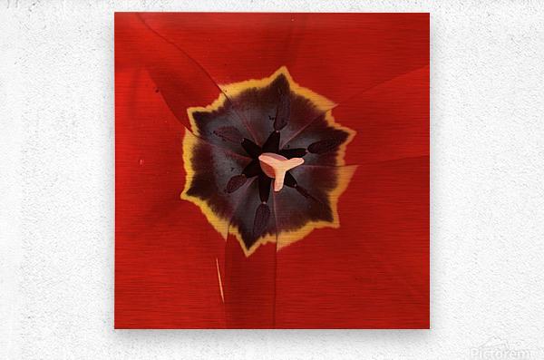 Treasured Tulip  Metal print