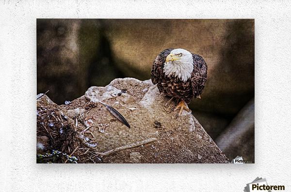 Bald Eagle on a Ledge  Metal print