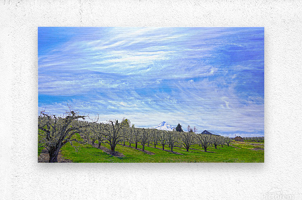 Spring in the Orchard Hood River Valley Oregon  Metal print