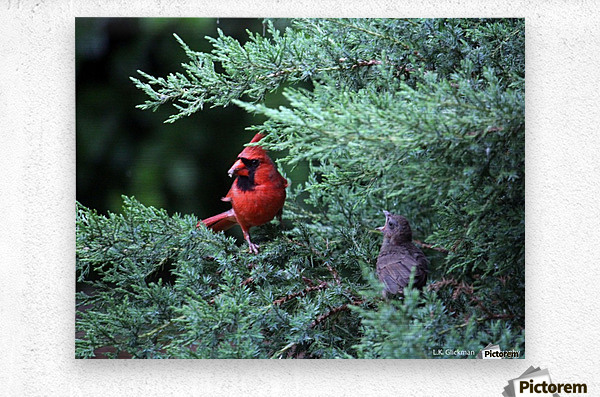 cardinal dad feed5  Metal print