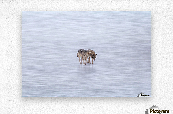 Two Coyote  Metal print