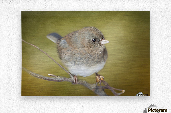 Dark Eyed Junco with Texture  Metal print