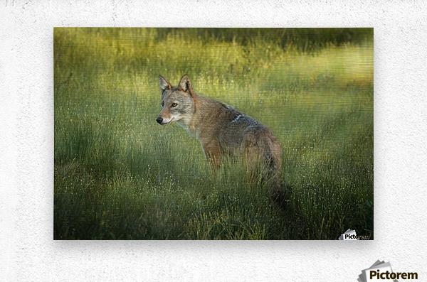 Evening Coyote  Metal print