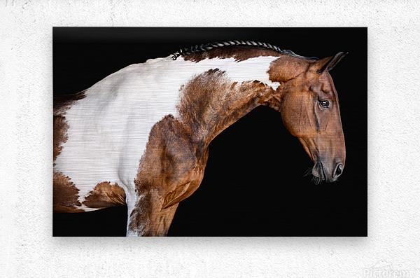 Paint Horse Portrait - Comanche  Metal print