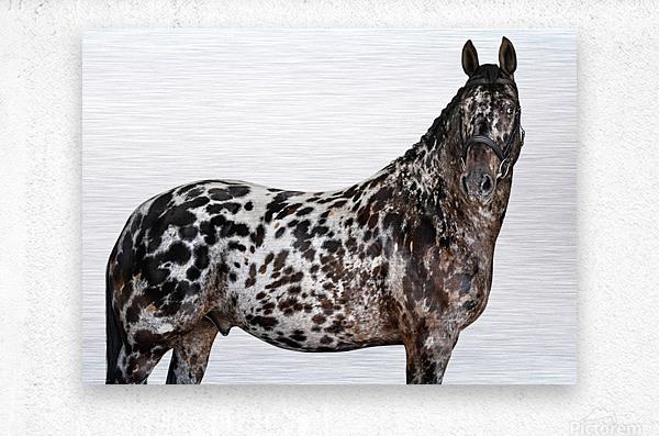 Spotted Horse Portrait  Metal print